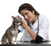 Revise el examen de una chihuahua con un otoscopio fotografía de archivo libre de regalías