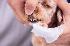 Revise los dientes de perro casero de limpieza cubiertos con la placa con la esponja imagenes de archivo