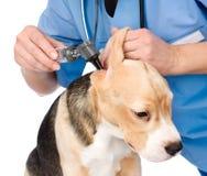 Revise un oído de perro de examen con un otoscopio Aislado en blanco imagen de archivo libre de regalías