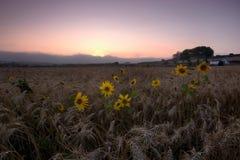 Revive. Wheat field in pero pinheiro , Sintra Stock Photos
