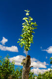 Revived apple tree Royalty Free Stock Image