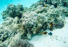 Revkoraller, havsgurka och tropisk fisk Arkivfoto