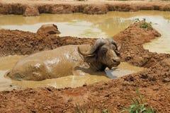 Revolcarse el búfalo del cabo Foto de archivo libre de regalías