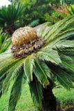 Revoluta del Cycas (cycad) del sagú - diversión del jardín botánico Fotografía de archivo libre de regalías