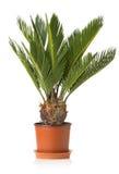 Revoluta della cycadaceae della palma isolato su fondo bianco Immagine Stock Libera da Diritti