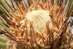Revoluta della cycadaceae - palma da sago Immagine Stock Libera da Diritti