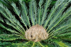 Revoluta thunberg do Cycas Foto de Stock