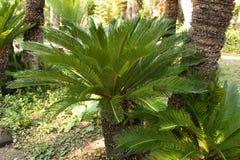 Revoluta variopinto della cycadaceae nel giardino immagini stock libere da diritti
