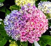 Revolutiehydrangea hortensia royalty-vrije stock afbeeldingen