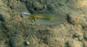 Revtioarmad bläckfisk Royaltyfria Foton