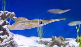 Revtioarmad bläckfisk Arkivbild