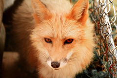 Rew fox looking up. Red fox looking up with eyes Royalty Free Stock Photo
