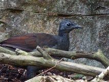Rewelacyjny Olśniewa Wyborowy Lyrebird z Świderkowatym spojrzeniem Zdjęcie Stock