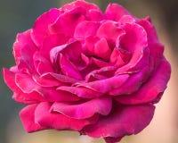 Rewolucjonistek menchii róża Zdjęcie Stock