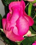 Rewolucjonistek różowe róże zdjęcia royalty free