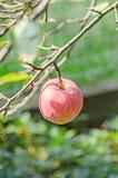 Rewolucjonistka, żółte jabłczane owoc w drzewie, jabłoni gałąź Jabłoń, różana rodzina (Malus domestica) Obrazy Stock