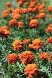 Rewolucjonistka - żółty Meksykański nagietków kwiatów ogród w świetle słonecznym Zdjęcie Stock