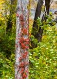 Rewolucjonistka barwił winogradów rosnąć oddolny na dębowym drzewie zdjęcie stock