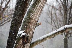 Rewolucjonistka Bellied dzięcioła Umieszczającego na drzewie w Śnieżnej burzy obraz royalty free