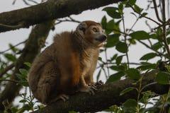 Rewolucjonistka Bellied lemur małpa Zdjęcia Stock