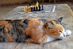 Rewolucjonistka dostrzegający kot śpi na drewnianym stole kota odpoczynek po bawić się szachy zdjęcie royalty free