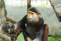 Rewolucjonistka Douc (Pygathrix nemaeus) Zdjęcie Stock