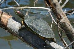 Rewolucjonistka eaed suwaka żółw Zdjęcie Stock