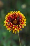 Rewolucjonistka i żółty kwiat Obraz Royalty Free