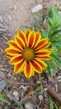 Rewolucjonistka i żółty uroczy kwiat Zdjęcia Stock