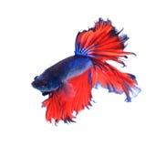 Rewolucjonistka i błękitna przyrodniej księżyc boju motylia siamese ryba, betta ryba Zdjęcia Stock