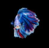 Rewolucjonistka i błękitna siamese bój ryba, betta ryba odizolowywająca na czerni obraz royalty free