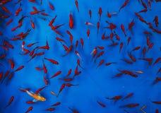 Rewolucjonistka i złoto ryba w błękitne wody zdjęcie royalty free
