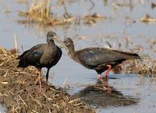 Rewolucjonistka ibis obrazy royalty free