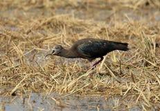 Rewolucjonistka ibis zdjęcia royalty free