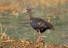 Rewolucjonistka ibis obraz stock