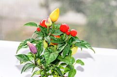 Rewolucjonistka, kolor żółty, mauve chili pieprzu rośliny chile pieprz lub chili, Fotografia Royalty Free