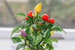 Rewolucjonistka, kolor żółty, mauve chili pieprzu rośliny chile pieprz lub chili, Obraz Stock