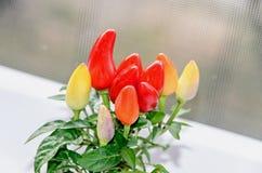 Rewolucjonistka, kolor żółty, mauve chili pieprzu rośliny chile pieprz lub chili, Zdjęcia Stock