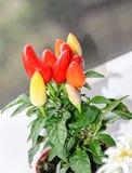 Rewolucjonistka, kolor żółty, mauve chili pieprzu rośliny chile pieprz lub chili pe, Zdjęcie Royalty Free