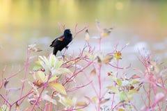 Rewolucjonistka kosa agelaius phoeniceus skrzydłowy śpiew na drzewie zdjęcie royalty free