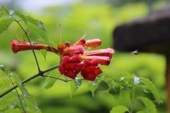 Rewolucjonistka kwiaty Fotografia Royalty Free