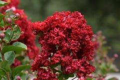 Rewolucjonistka kwiaty, Bunched Obraz Royalty Free