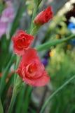 Rewolucjonistka kwiaty i pączek gladiolusa makro- zbliżenie w ogródzie fotografia stock