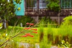 Rewolucjonistka kwiaty lub Russelia equisetiformis Schldl Zdjęcia Stock