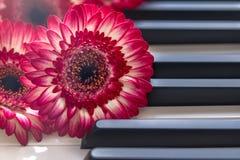 Rewolucjonistka kwitnie na Fortepianowej klawiaturze fotografia royalty free
