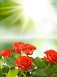 Rewolucjonistka kwitnie onï ¿ ½ słońca tło Obraz Royalty Free