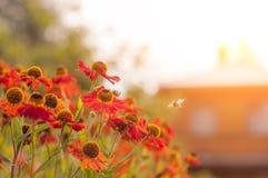 Rewolucjonistka kwitnie przy zmierzchem z pszczołą sunlight zdjęcia royalty free