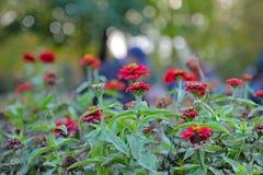 Rewolucjonistka kwitnie w parku przy rankiem Obrazy Stock