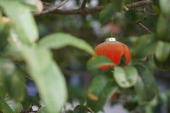 Rewolucjonistka lanterns2 Zdjęcie Royalty Free