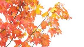 Rewolucjonistka liście na drzewie zdjęcie wideo